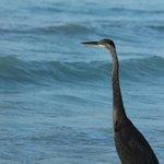Un autre pelican