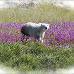 as I said - polar bears among flowers - not snow