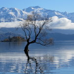 'THE' tree in Lake Wanaka