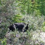 Black bear near Sunwapta Falls