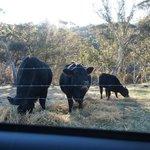The resident cows - Mumma, Puppa and Baby mooooo