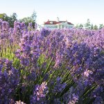 Lavender fields and B&B