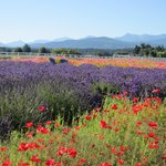Poppies, lavender, and the Olympic mountains