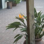 Birds of Paradise planted outide-pretty