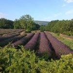 The lavender ...  hmmmmmm