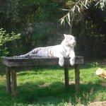 tigre blanc en attente de mettre bas