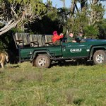 Its behind you! A good photo to show how close the Lions are to the Land Cruisers