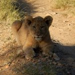 Our favourite Lion cub who came very close and posed for us.