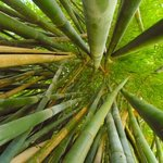 Bamboo! Mercer Arboretum & Botanic Gardens