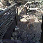 A nyala visits our room