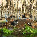 various ducks seen while walking around the lakes