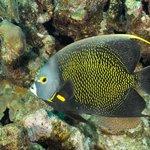 French Anglefish