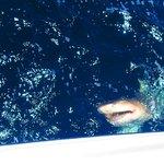 250 pound lemons shark