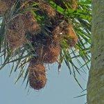 Nester der Webervögel