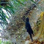 Webervögel auf Palme am Pool