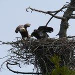 Bald eagle nest on Marine Drive