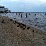 Ducks on beach down the boardwalk