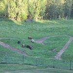 Sheep grazing behind the B&B