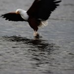 Fish Eagle on Lake Naivasha