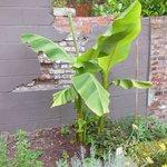 this garden even has a bananatree