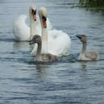 resident swans.  were 5 cygnets until irresponsible dog owners let their dogs kill 3 ;-(