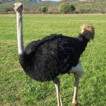 Ostrich at Red Stone Hills