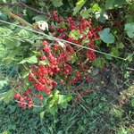 can't find those berries anywhere - red current