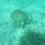 Turtle while snorkeling with Raggamuffin tours at Hol-Chan