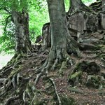 great root