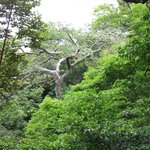 Guanacaste tree on zip line tour