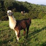 One of the llamas