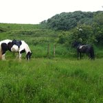 Joe and Bess grazing during the Hodbarrow beach ride lunch stop