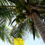 coconut tree on the beach. you can pick your own coconut and drink fresh natural coconut water o
