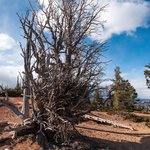 Barely Alive 1700 Year Old Bristlecone Pine