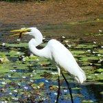 Egret catching fish at edge of lake