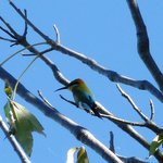Rainbow bee eater in tree next to cabin