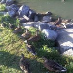 Ducks at the Duck Pond