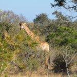 giraffa al setaccio