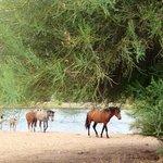 Wild Horses at the Salt River