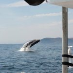 Breaching humpback whale from Sub Sea Tours trip - July 2013