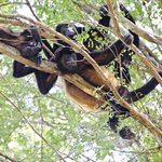 Howler monkeys in the national park near the hotel, July 2013