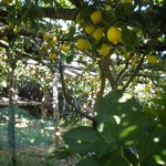 limoneto giardino