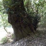 ウバメガシの巨樹
