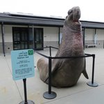 life size elephant seal stature