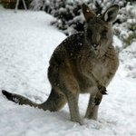 Inverness Farmstay kangaroos in the snow