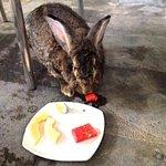 resident bunny