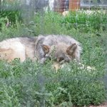 Gray Wolf awaiting feeding time...