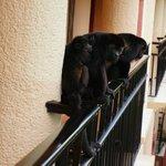 Howler monkeys near room