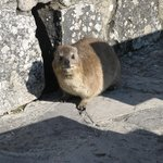 A dassie on the mountain
