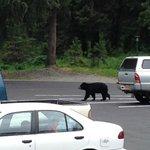 Bear in parking lot of Alyeska Resort